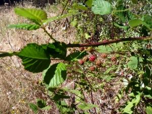 himalayanblackberry