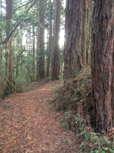 Forest Path, Redwood Bowl, California