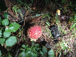 Amanita, Redwood Bowl, California