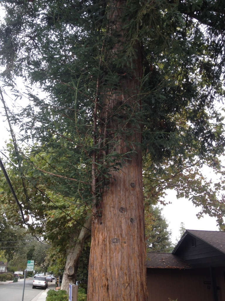 redwood mother