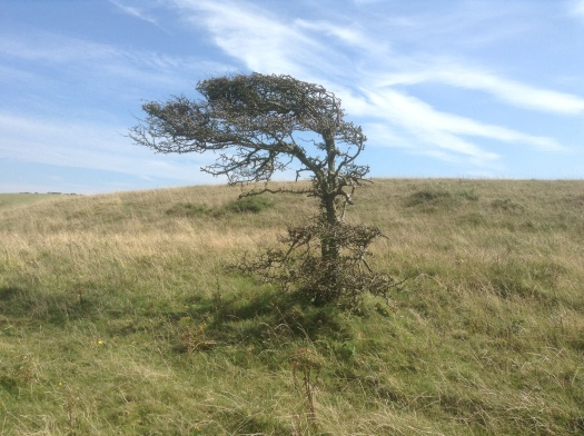 A bare hawthorn tree on a high hill, twisted by the wind into fantastic shape.