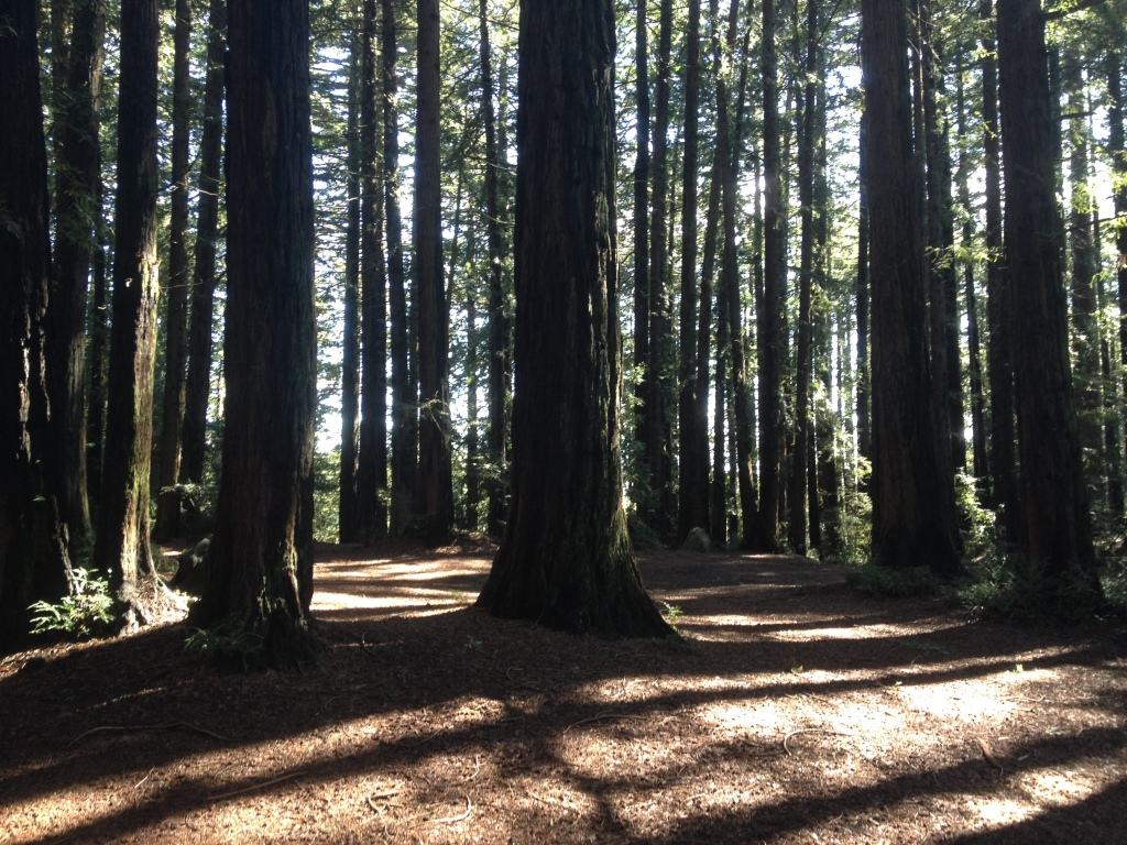 Young Redwoods Growing From the Stumps of the Old