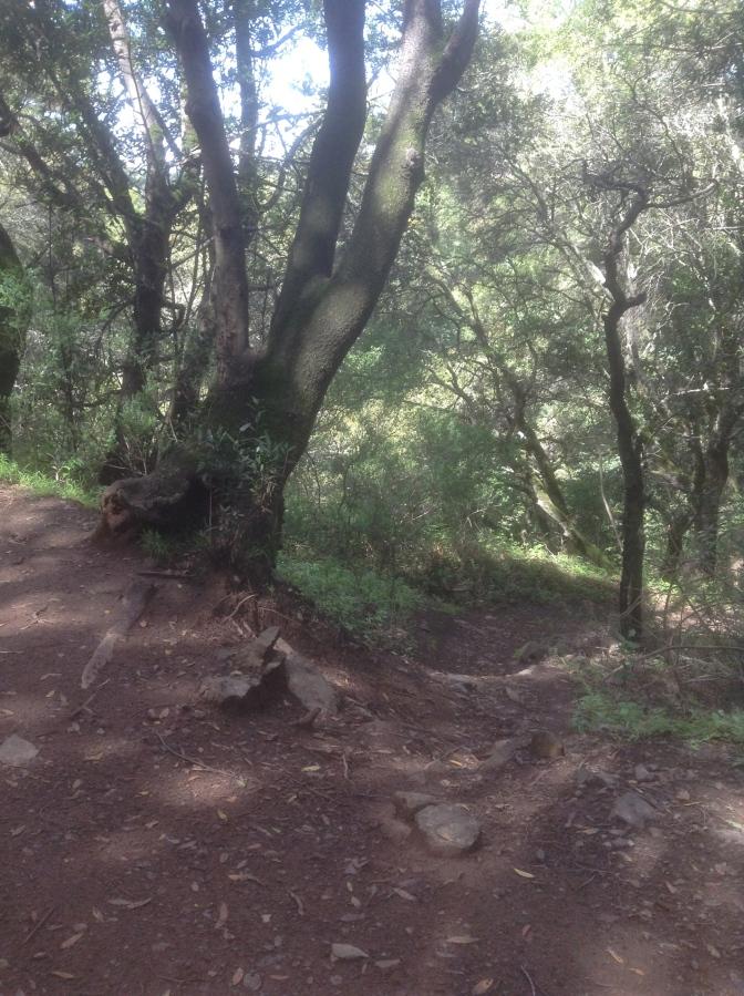 Laurel marking the York Trail
