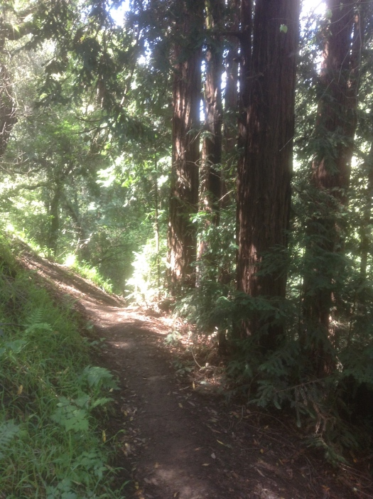 Redwoods in the sunlight next to a narrow trail
