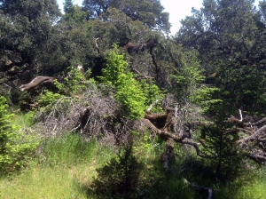 Dead oak, branches strewn around its trunk with young firs growing up around it.
