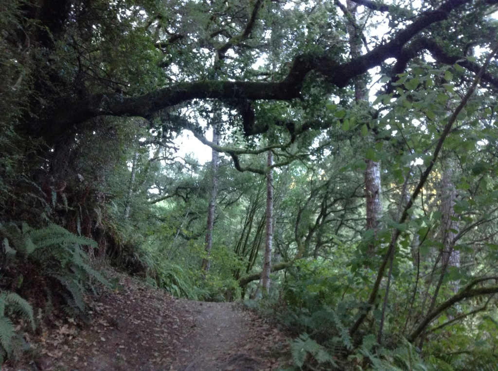 Massive gnarled oak hanging over a trail at Point Reyes