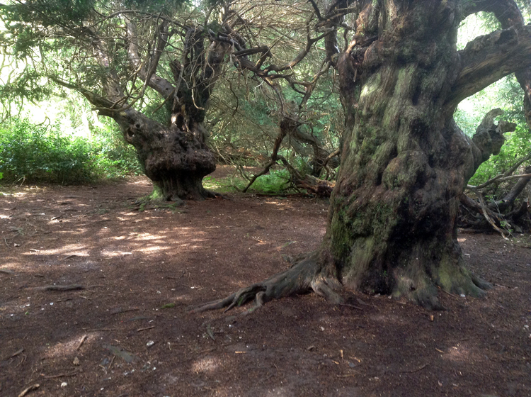 Ancient yews growing wild